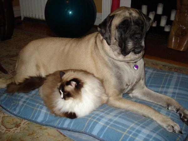 Английский мастиф и кошка