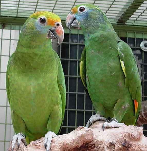 семейная пара попугаев амазон