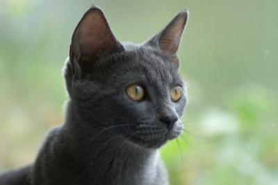порода кошек - русская голубая