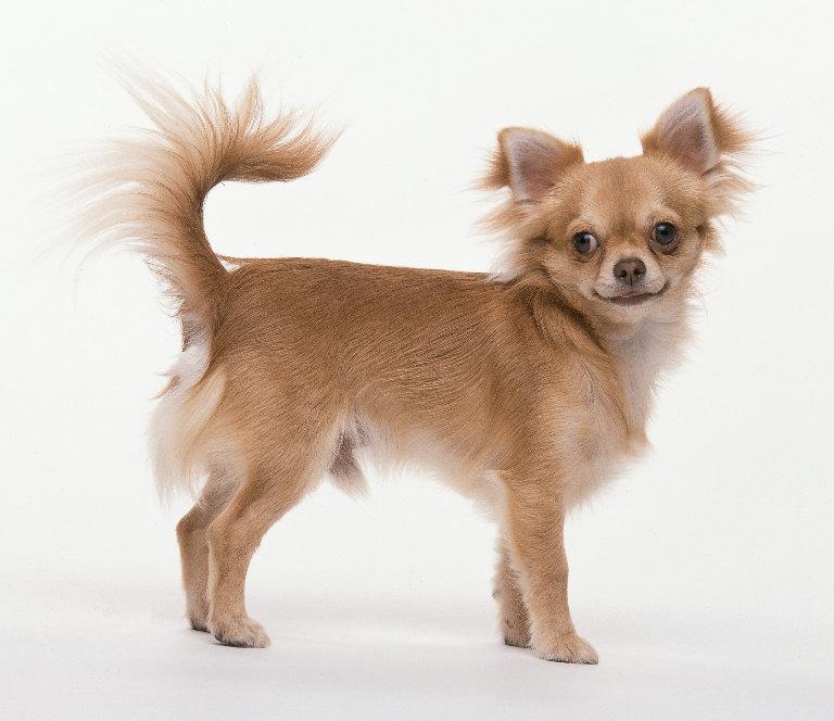 Чихуахуа - декоративная собака