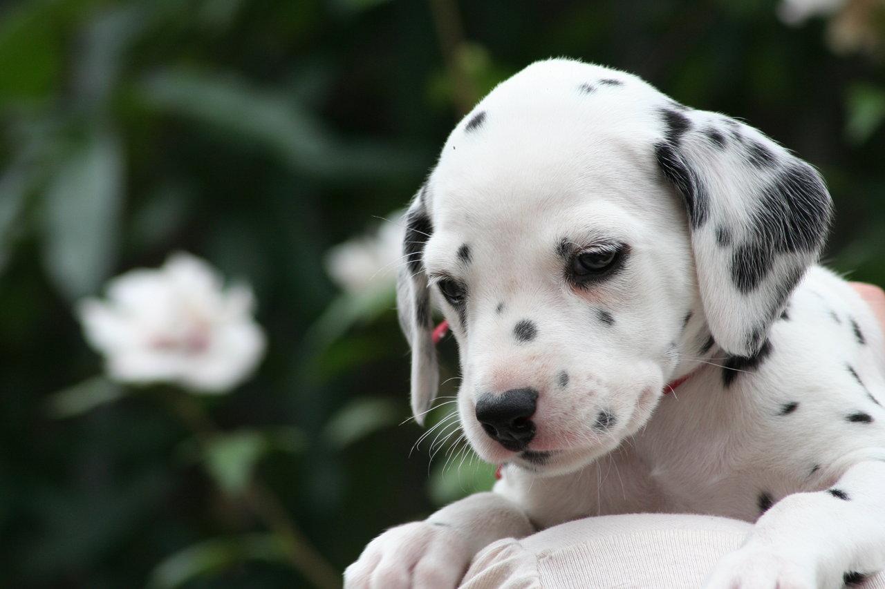 Задумчивый щенок