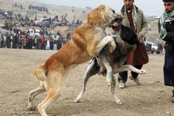 Бойцовые собаки