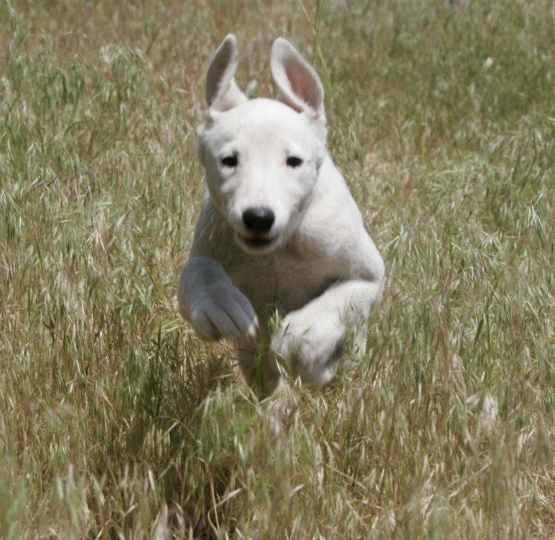 Бегущий щенок