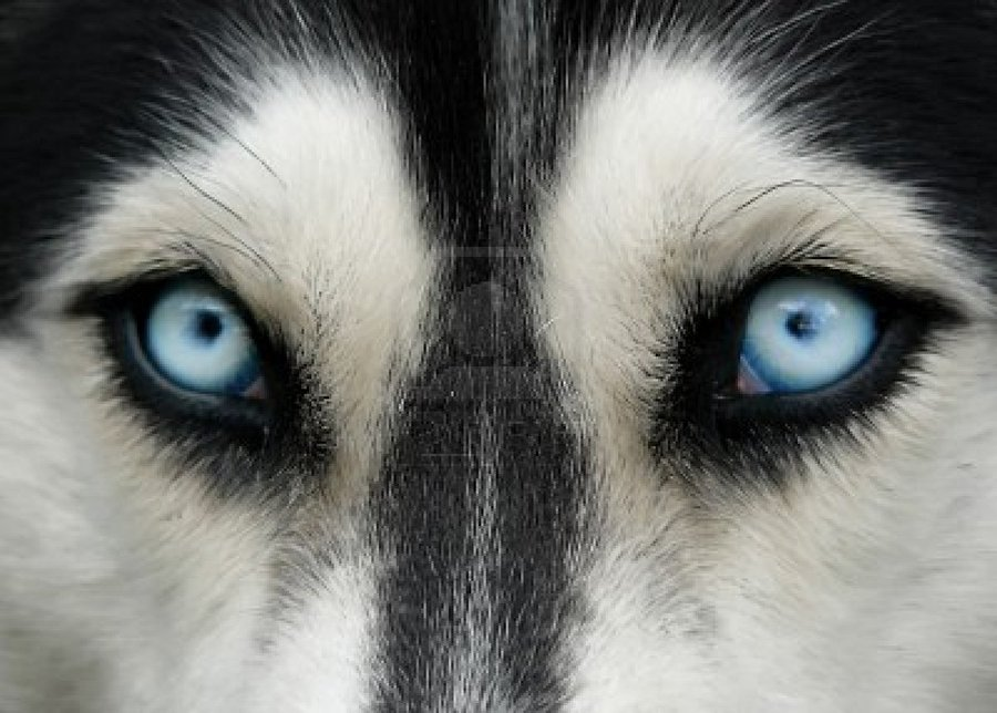 Глаза хаски