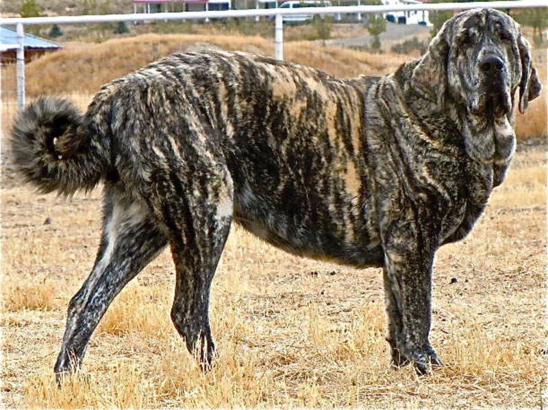 Испанский мастиф - тигровый окрас