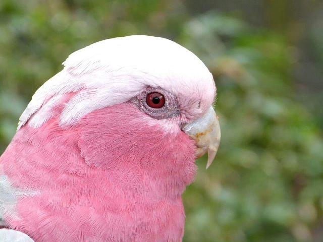 Голова розового какаду крупным планом