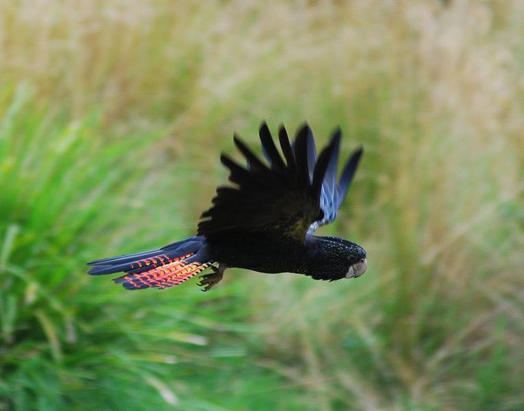 Черный какаду в полете