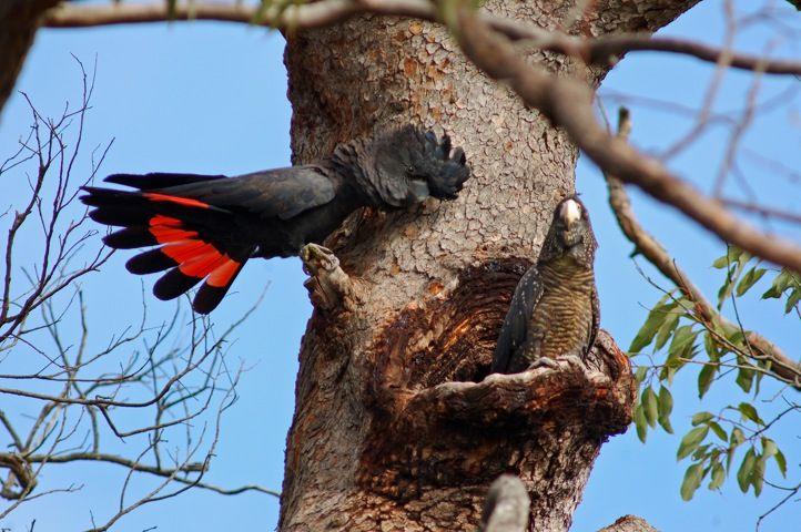 Черные какаду у гнезда