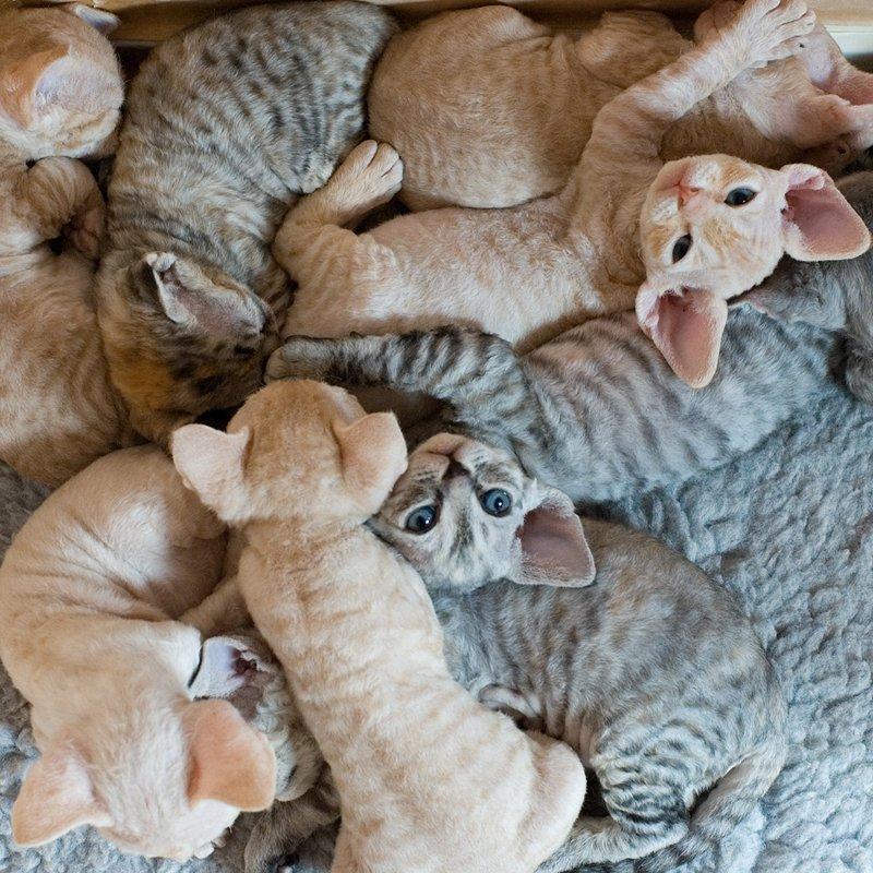 Котята корниш-рекс