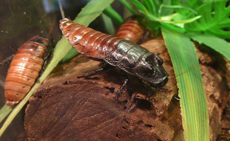 Мадагаскарский  таракан в террариуме