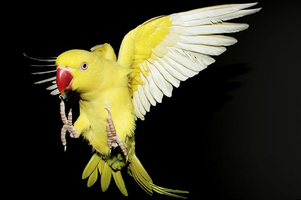 Лютинос, желтый ожереловый попугай