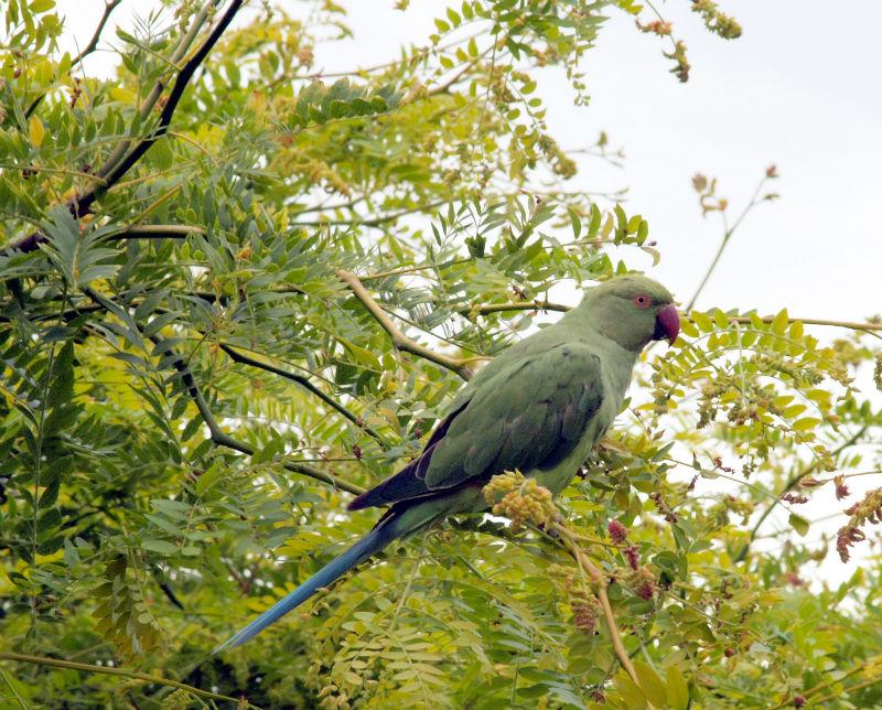 Ожереловый попугай в естественной среде