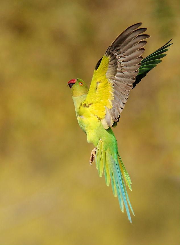 Необычная окраска ожерелового попугая