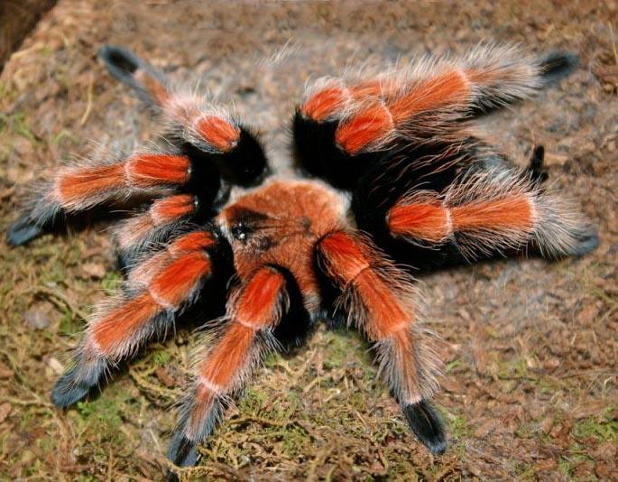 оранжевый паук птицеед