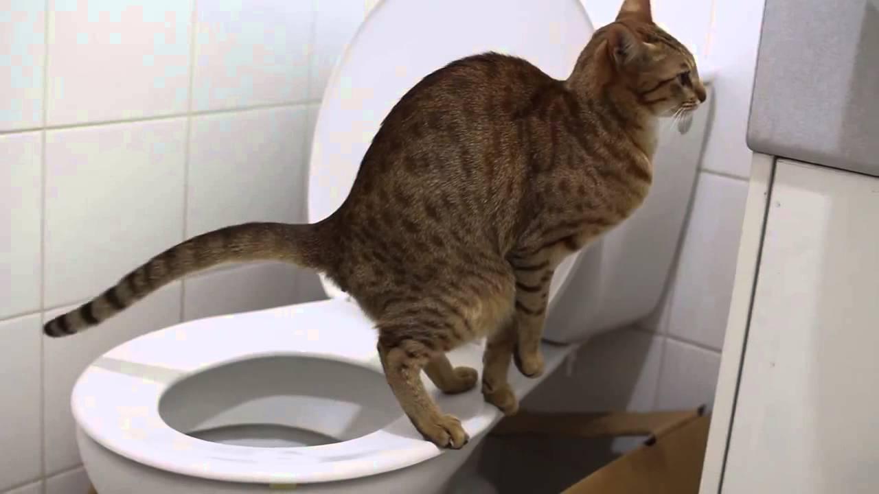 Кошка ходит в унитаз