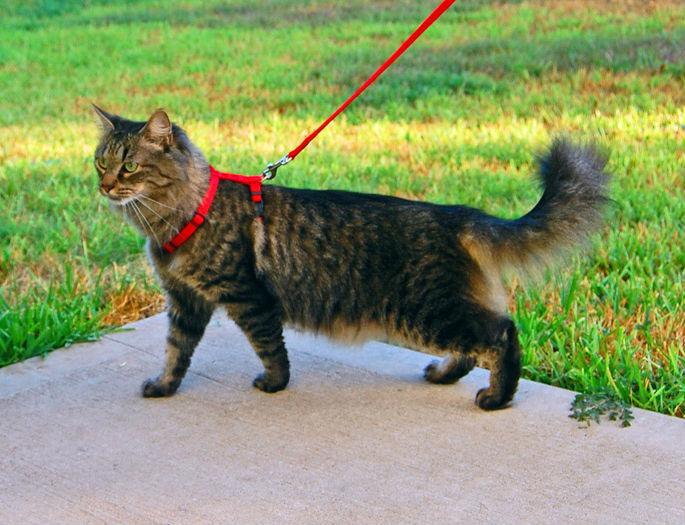 Прогулки с кошкой